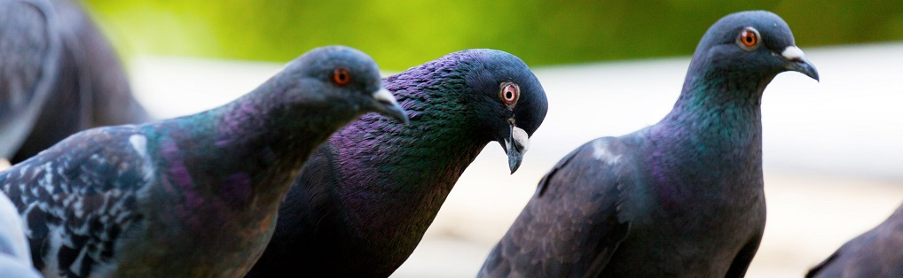Choosing Bird Control Services: Advice from the experts