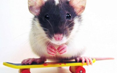 Pest of the month: Rats Fact sheet